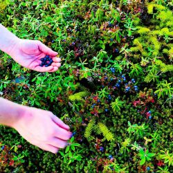 blueberry pick LQ